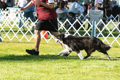 20200201_Sahuaro State Kennel Club_Border Collies_KDP_8445