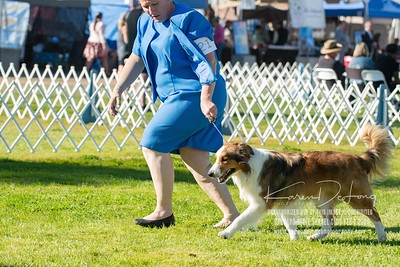 20200201_Sahuaro State Kennel Club_Border Collies_KDP_8420