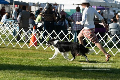 20200201_Sahuaro State Kennel Club_Border Collies_KDP_8544