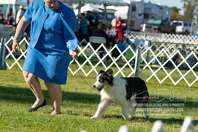 20200201_Sahuaro State Kennel Club_Border Collies_KDP_8514