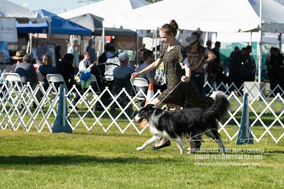 20200201_Sahuaro State Kennel Club_Border Collies_KDP_8432