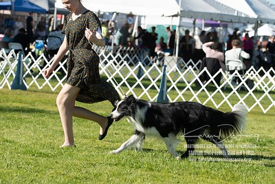 20200201_Sahuaro State Kennel Club_Border Collies_KDP_8398