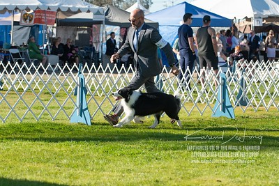 20200201_Sahuaro State Kennel Club_Border Collies_KDP_8455