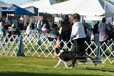 20200201_Sahuaro State Kennel Club_Border Collies_KDP_8536