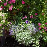 Rose Circle's Earthly Paradise XXIV