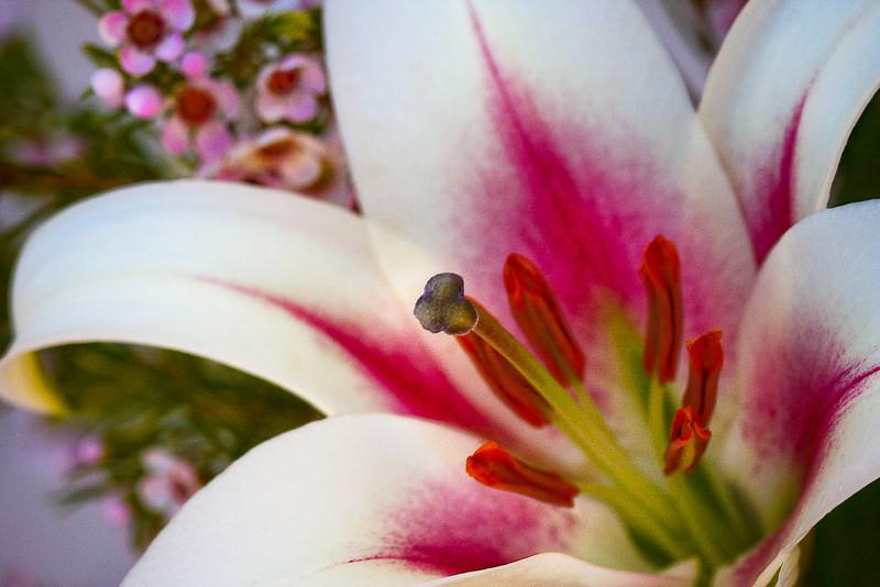 "Lilium ""Stargazer"", Oriental Hybrid Lily"