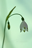 Summer Snowflake or Loddon Lily (Leucojum aestivum)