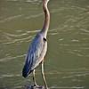1164  Blue Heron