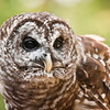 1680  Barred Owl.  He is very tiny under all these feathers.Nature Station LBL