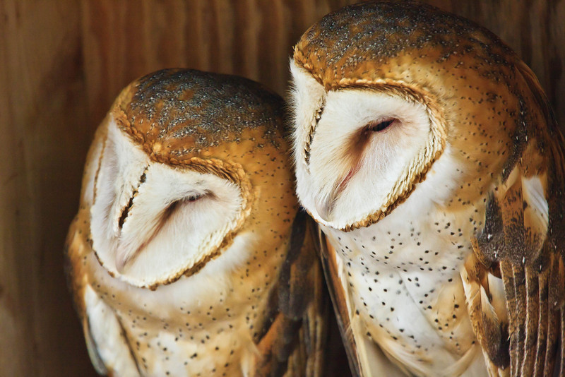 1614  Two Barn Owls at the Nature Station LBL