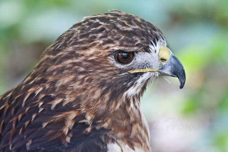 1643  Red Tailed Hawk at the Nature Station LBL