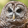 1692   Barred Owl.  Nature Station LBL