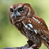 1706  Screech Owl, Nature Station LBL