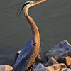 1217  Blue Heron At The Lake