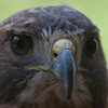 1722  Red Tailed Hawk at the Nature Station LBL