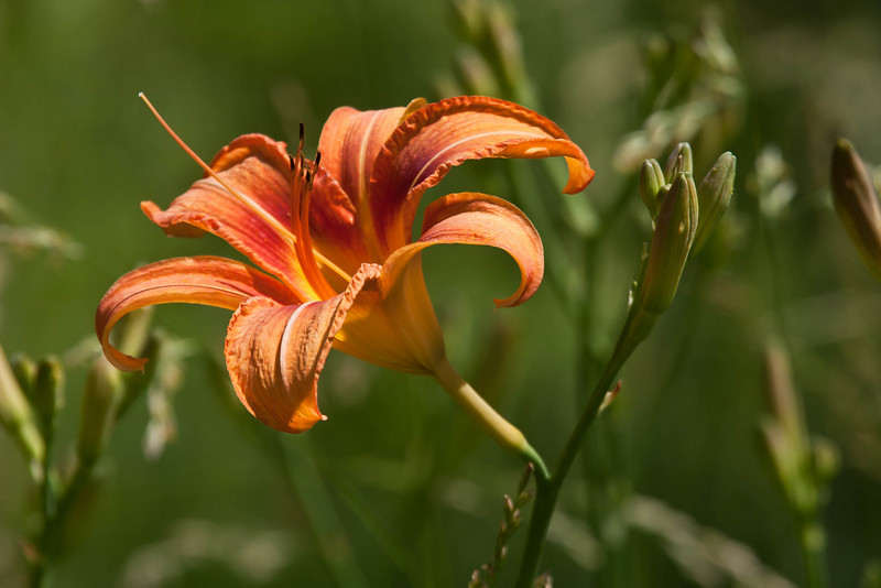 1525  Lily at the Bison Range.