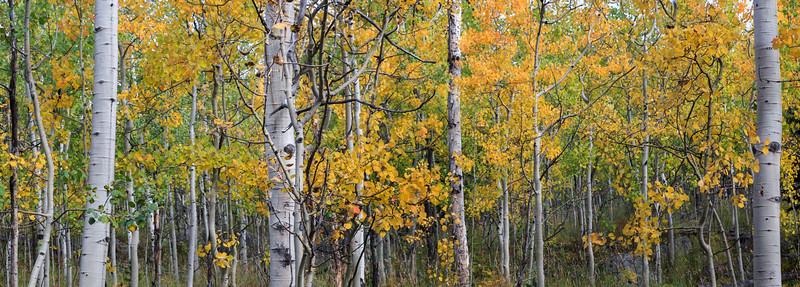 Panoramic Image of Aspen Groves