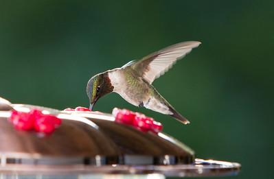 Humming Bird-9818