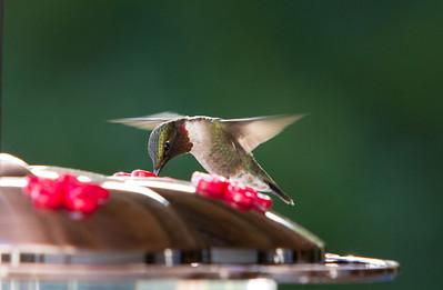 Humming Bird-9819