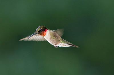 Humming Bird-9789