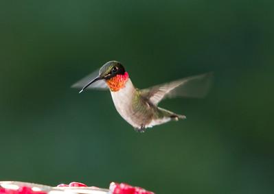 Humming Bird-9782