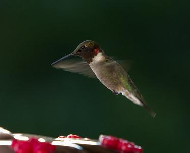 Humming Bird-9812