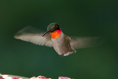 Humming Bird-9806