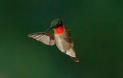 Humming Bird-