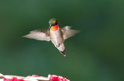 Humming Bird-9785
