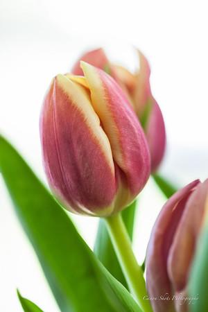 Dana's Tulips (1 of 23)
