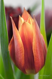 Dana's Tulips (12 of 23)