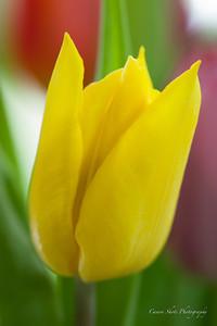 Dana's Tulips (9 of 23)