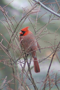 20060122-4x6 grey twig cardinal