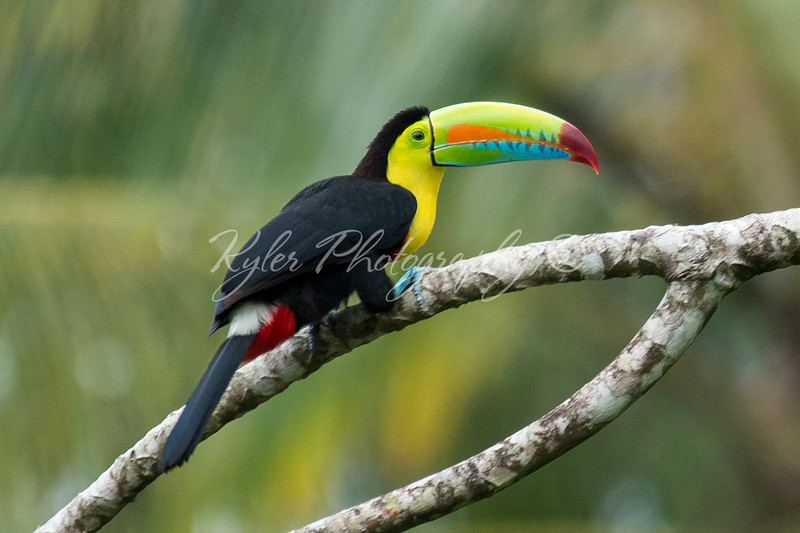 Keel-billed Toucan_3520
