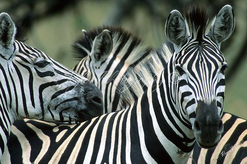 Zebra for print