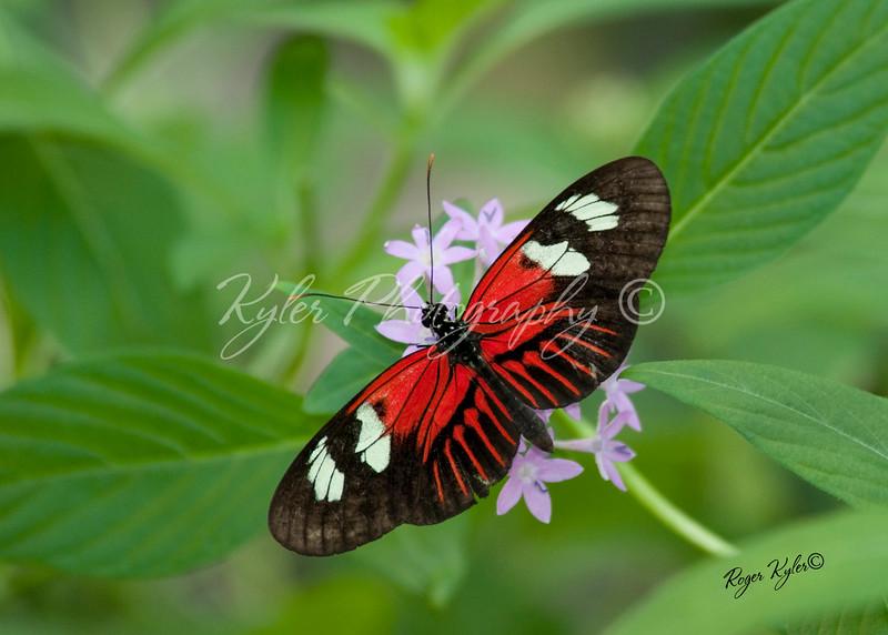 Butterfly©RK