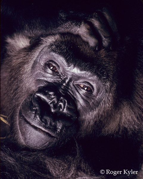 Gorilla-Brookfield Zoo