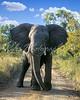 elephant charge-signed 16x20