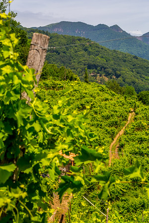 Vineyards in the foothills of the Alps