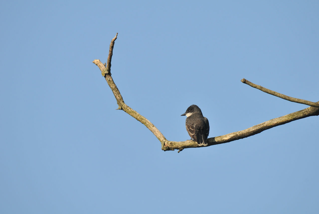 Eastern Kingbird At Prospect Park