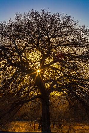 Cootonwood at Sunset