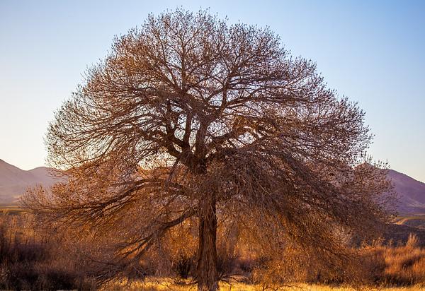 A Cootonwood Tree