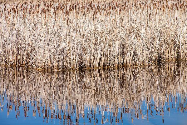 Cattail Shore
