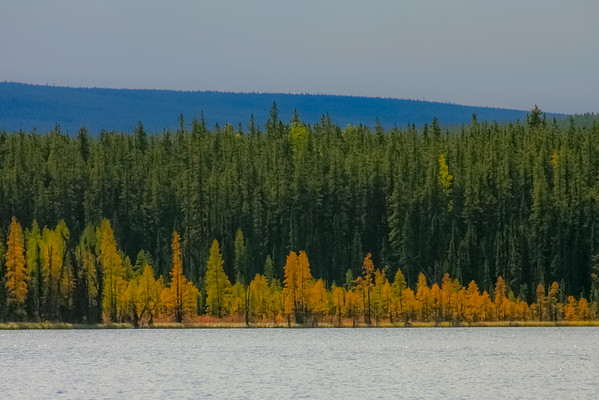 Larch in autmun colors