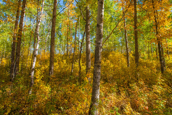 Aspen forest in fall colors