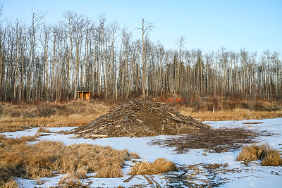 Beaver lodge with food cache