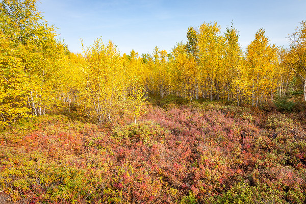 Birch and Labrador Tea in fall colors