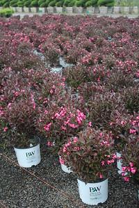 Weigela f  'Wine & Roses' Flowering Mass (2)