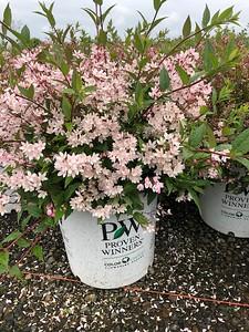 Deutzia x 'Yuki Cherry Blossom' #5 Blooming
