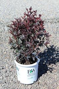 Physocarpus 'Summer Wine' PW #5 (9-9-16)
